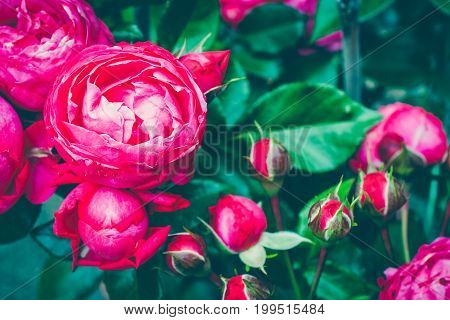 Centifolia rose bush with foliage. Natural flower. Soft focus. Copy space. Free place for text. Blossoming red rose buds. Open rose for card.