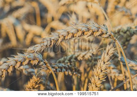 Close up of golden ears of wheat. Low saturation. Vintage look.