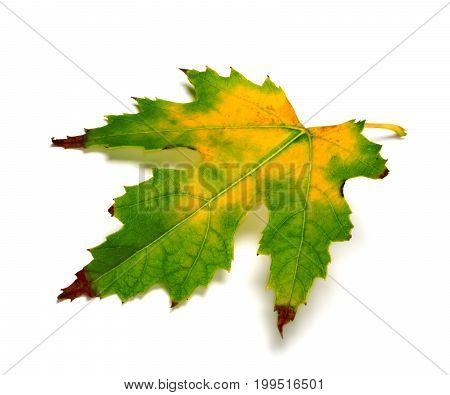 Multicolor Maple Leaf On White