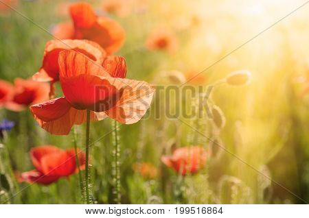 Red poppy flowers blooming in the green grass field with sun light, floral natural spring background, can be used as image for remembrance and reconciliation day