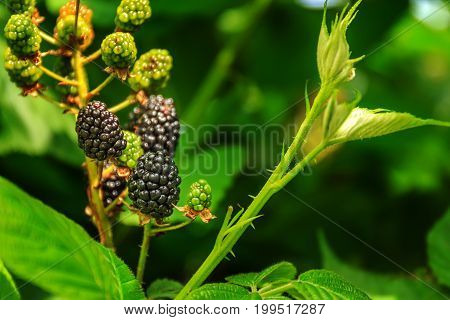 Organic ripe and unripe blackberries on the bush with selective focus. Bunch of blackberries. Berry background