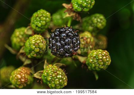 Organic fresh ripe and unripe blackberries on the bush with selective focus. Bunch of blackberries. Berry background