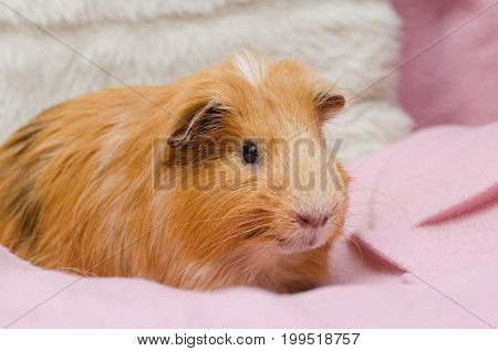 Portrait of red guinea pig on pink plaid. Close up.