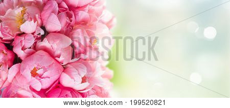 Fresh dark pink peony flowers buds banner with abstract garden background