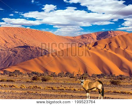 The concept of extreme and exotic tourism. African Oryx gaselle standing at the road. Sunset in the Namib Desert, the oldest in the world. Namibia, South Africa