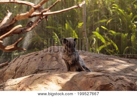 Arctic Fox Vulpes Lagopus With Brown Fur