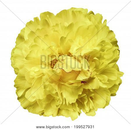 Peony flower yellow on the white isolated background with clipping path. Nature. Closeup no shadows. Garden flower.
