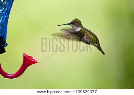 Female Hummingbird hovering near my feeder in the summer