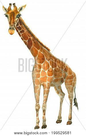 Hand painted watercolor giraffe illustration isolated on white background. Zoo animal.