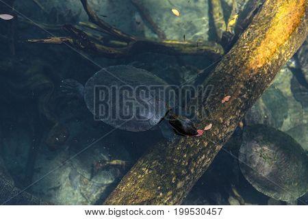 Northern River Terrapin Turtle Called Batagur Baska
