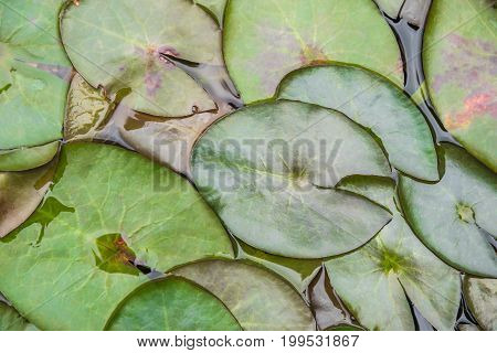 Lotus Leaf (lily Pad Or Lotus Pad) Green Color