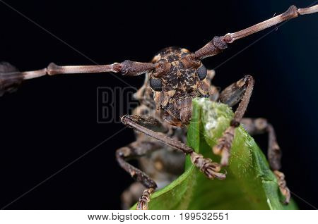 image of a beautiful longhorn beetle from Borneo