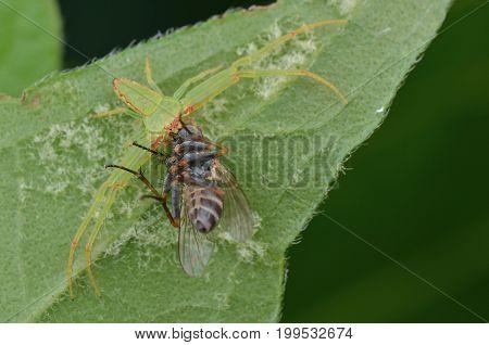 crab spider with prey on green leaf
