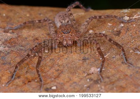 image of a huntsman spider from Borneo