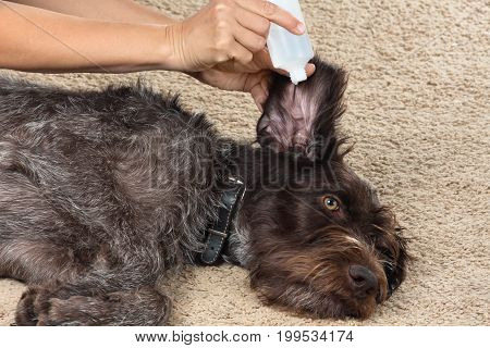 hand of woman washing the ear of dog with remedy