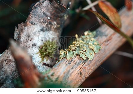 The lichen on the branch. Yellow-green education on a tree branch. Old relict forest. A living organism in symbiosis with forest tree.