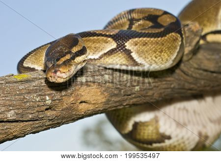 Ball Python (Python regius) wrapped on a limb