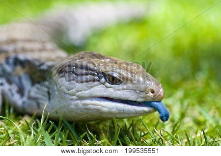 Blue-tongued skink or Blue-tongued Lizard crawling on grass