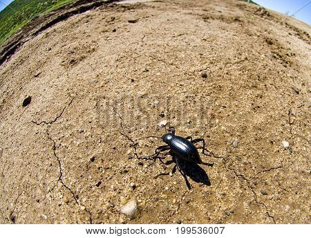 Dentate Stink Beetle Eleodes dentipes (Family: Tenebrionidae Darkling Beetles)