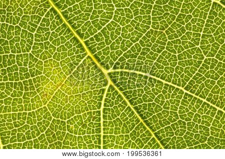 Close-up (1:1) of the veins of a ivy leaf (Hedera)