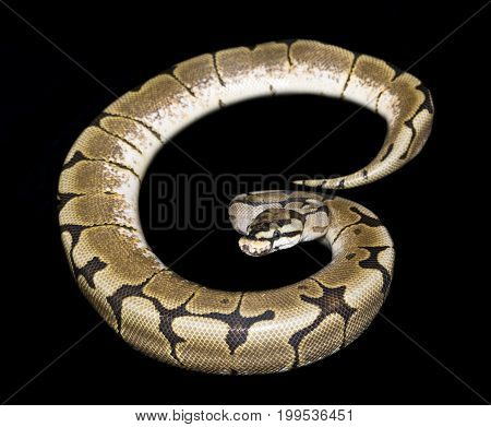 Bumble Bee Ball Python (Python regius) isolated against black background
