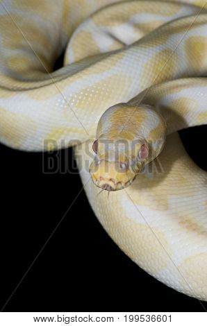 Male Albino Ball Python isolated against a black background