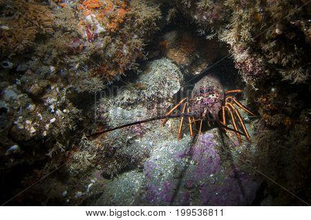 Spiny Lobster (Panulirus interruptus) in the Pacific Ocean, CA