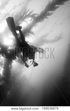 Underwater photographer diving through kelp forest off Anacapa in the Channel Islands, CA