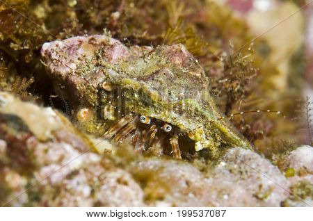 Hermit crab (Family Paguridae) in the Pacific Ocean, CA