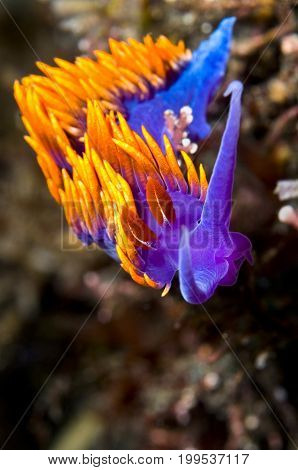 Flabellina iodinea (Spanish shawl) in Pacific Ocean, CA