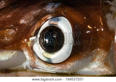 A close-up of a squid eye with visible Chromatophores