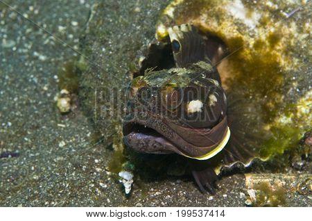 sarcastic fringehead (Neoclinus blanchardi) off Channel Islands, CA