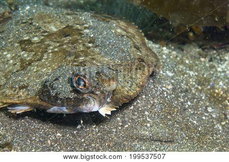 Flatfish off Santa Cruz Island in the Pacific Ocean, CA