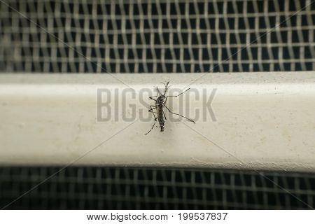 Macro Of Mosquito (aedes Aegypti) Carrier Of Virus