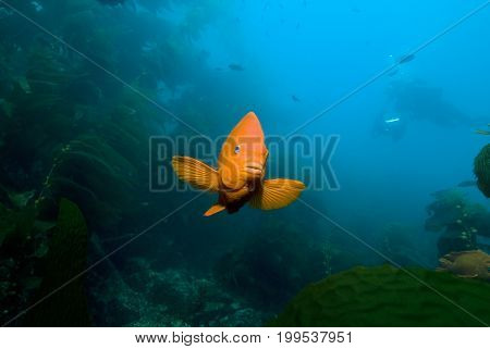 Adult Garibaldi damselfish (Hypsypops rubicundus) in rocky reef in the Pacific Ocean, CA