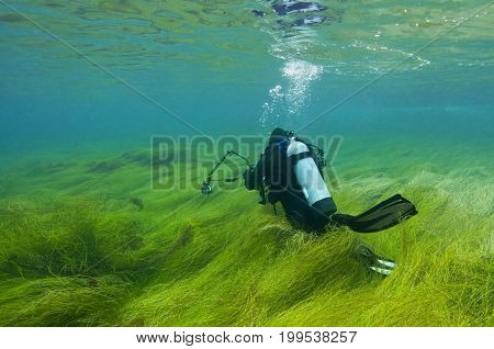 Scuba diver in shallow water and grass-like kelp, Pacific Ocean, CA