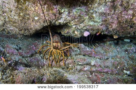 Spiny Lobster (Panulirus interruptus) in the Pacific Ocean, California