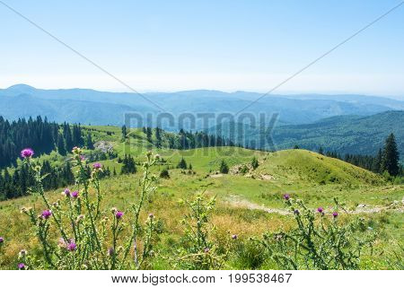 A View To Carpatian Mountais, Fir-tree Forest A Green Valley And A Path Over The Hill With Purple Fl