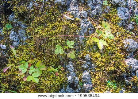 A close up view to wild strawberry and textureg green moss on the stone in the mountains of Bucegi natural park Sinaia Romania.