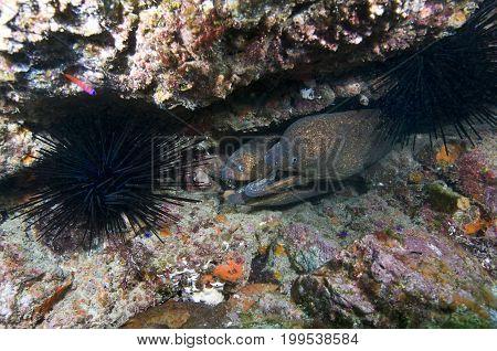 California moray eels (Gymnoyhorax mordax) in the Pacific Ocean