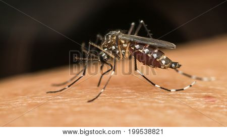 Macro Of Mosquito (aedes Aegypti) Sucking Blood
