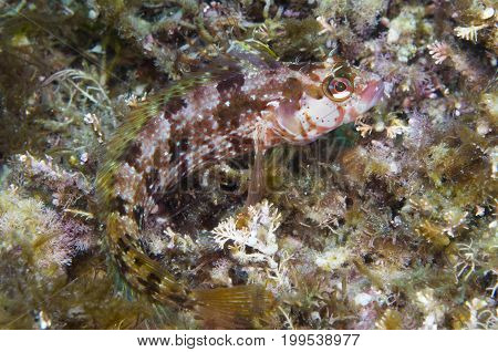 Fish camouflaged off Catalina island in the Pacific Ocean, CA