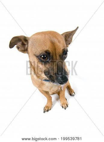 brown little dog looking sad isolated against white background