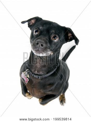 Cute little black dog begging isolated against white background
