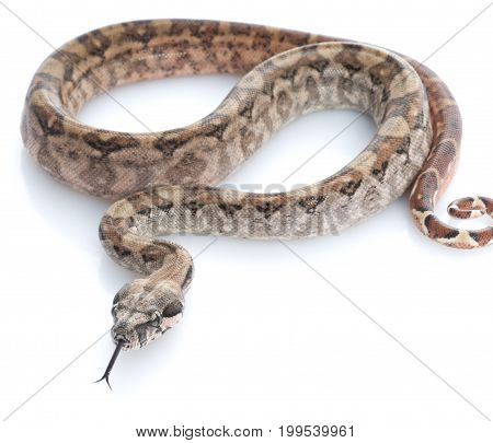 T-positive Nicaraguan Boa (Boa constrictor imperators) against white background
