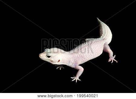 Mack Blazing Blizzard Gecko (Female) against a black background