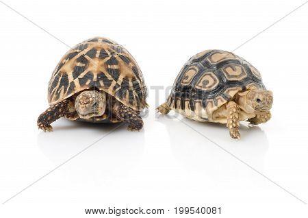 Indian Star Tortoise (Geochelone elegans) & Leopard Tortoise (Stigmochelys pardalis)