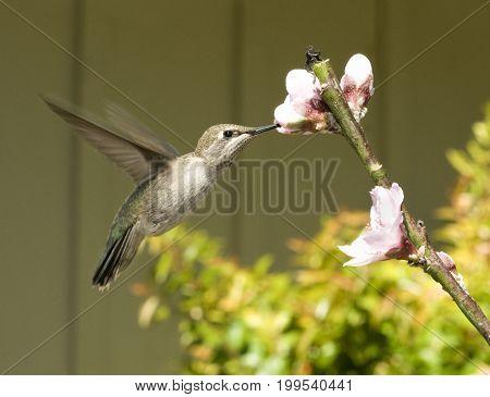 Hummingbird in flight getting nectar from a flower