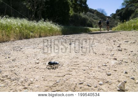 Pinacate beetle (aka Stink Beetle) crawling on the ground