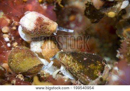 California Cone (Conus californicus) in Pacific Ocean, California